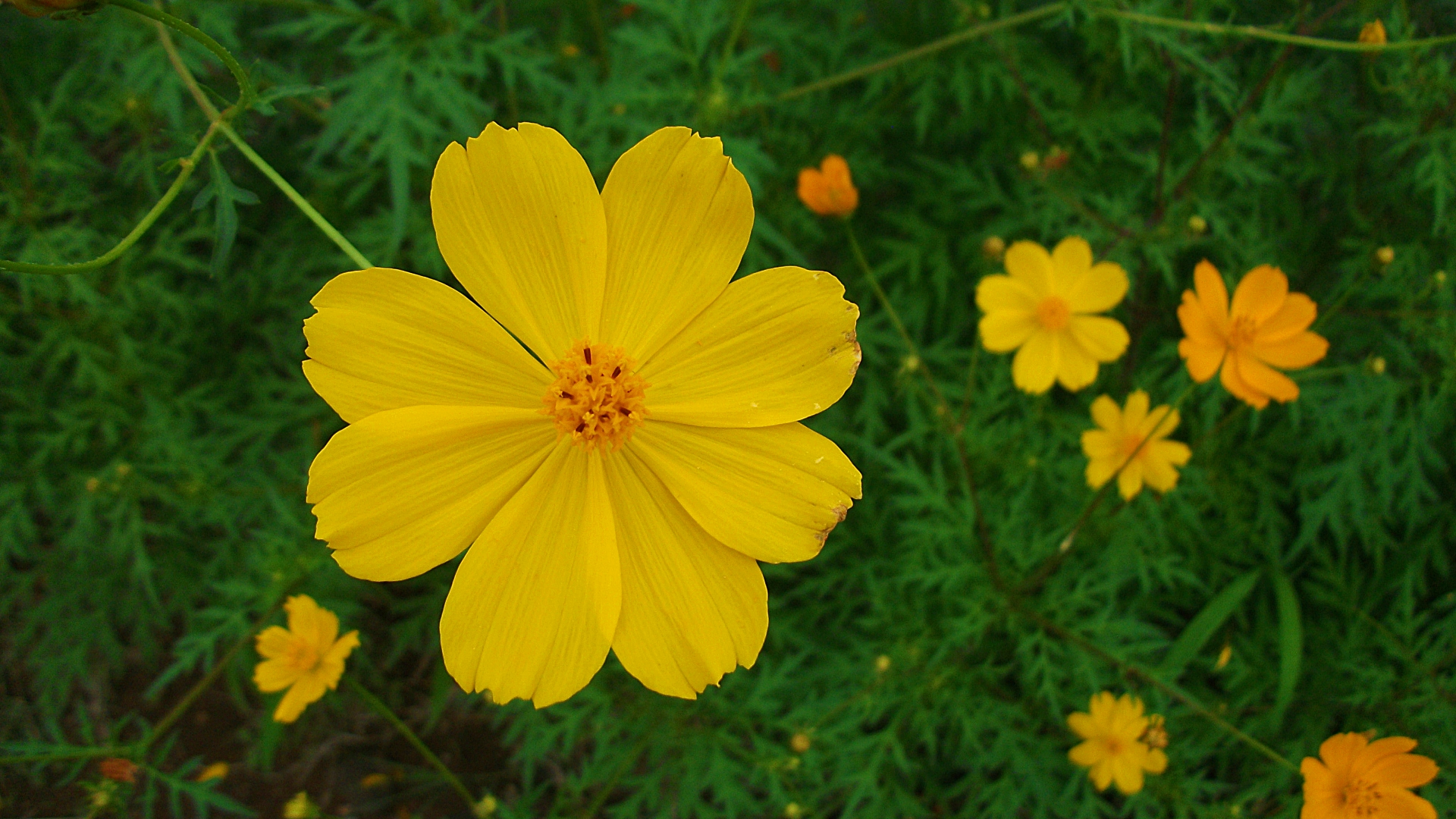Yellow Cosmos Flowers px HDWallSource