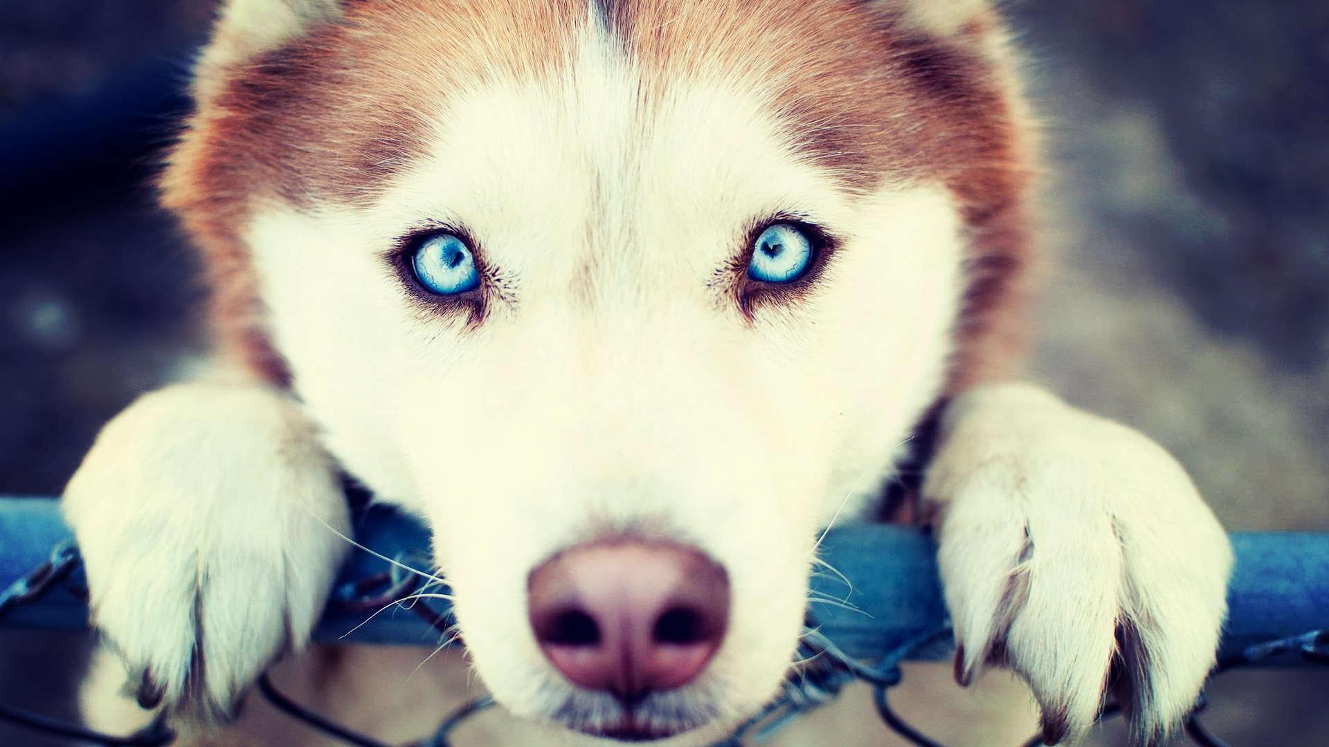 adorable siberian husky 20781