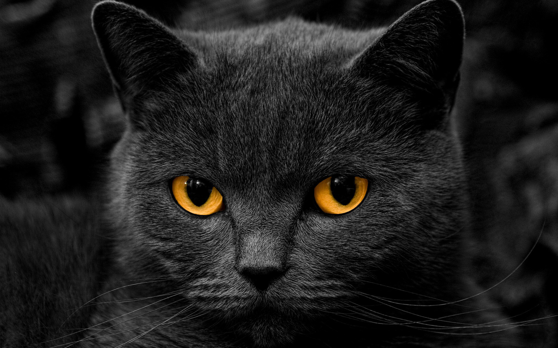 Awesome Black Cat Wallpaper 24147 1920x1200 px HDWallSourcecom