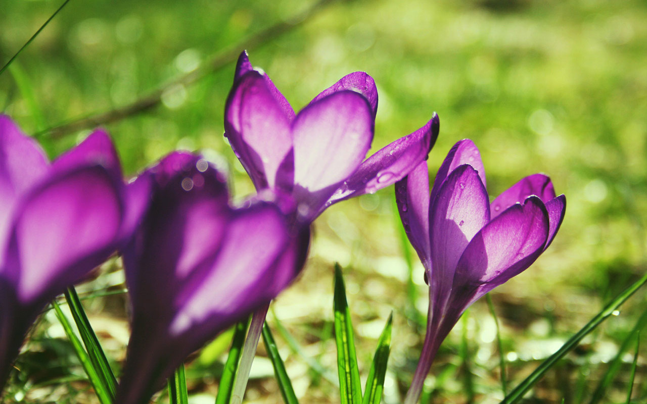 beautiful crocuses 28914