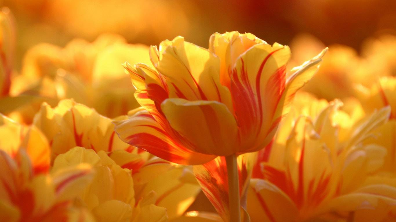 Beautiful Flower Pictures 26785 1366x768px