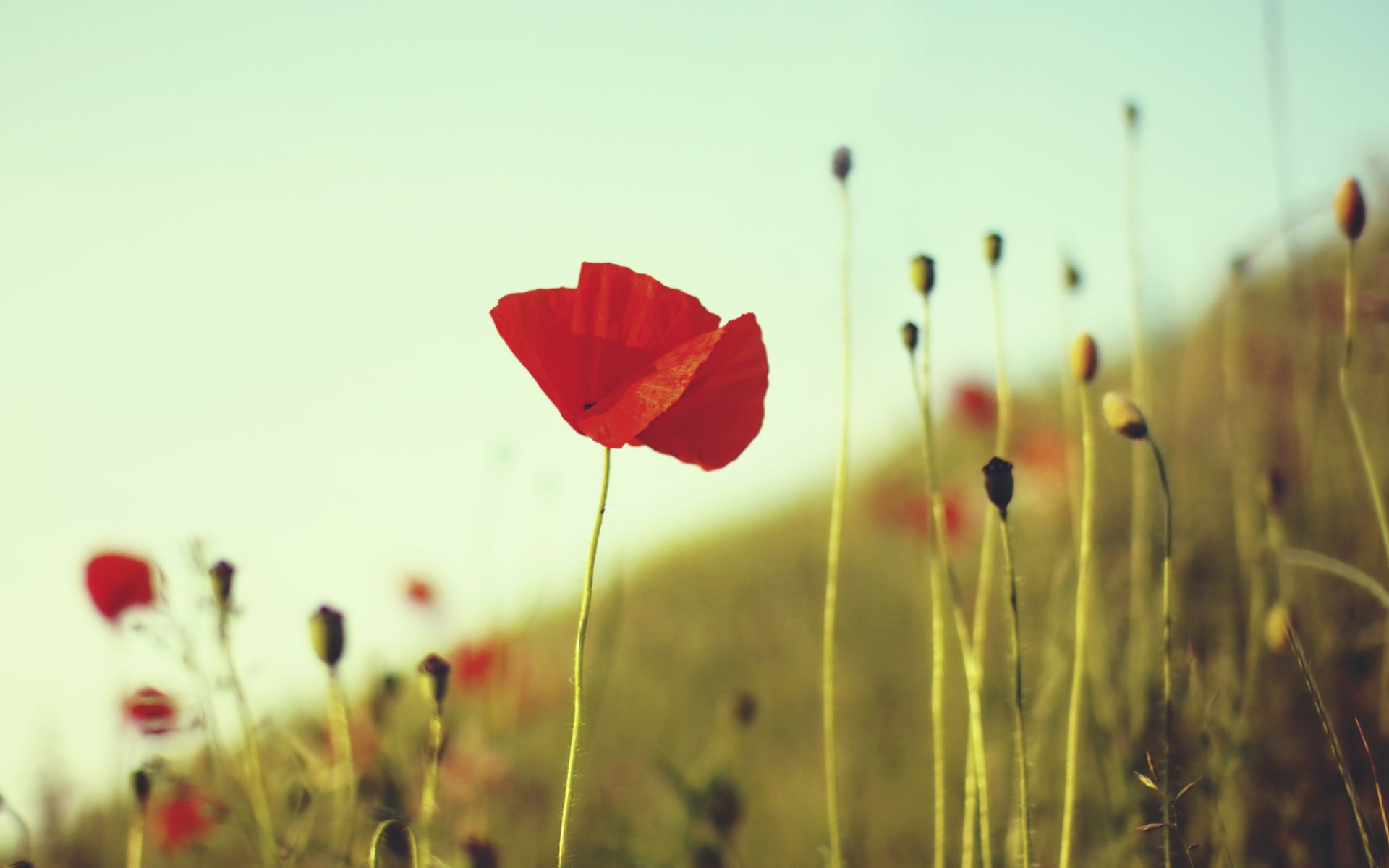 beautiful poppy wallpaper 24000