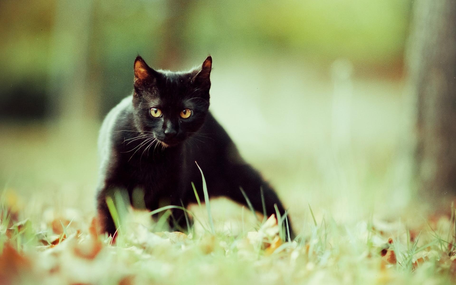 black cat wallpaper 24145