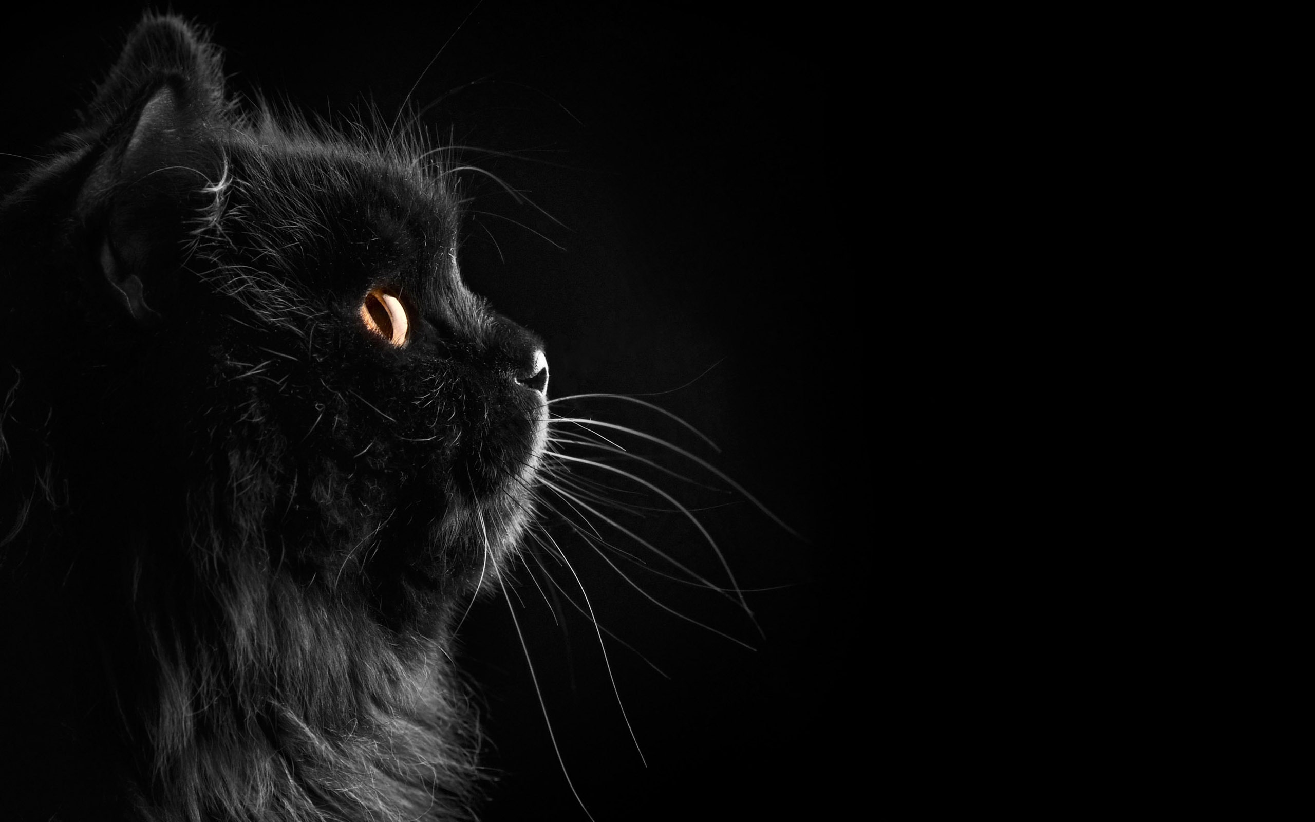 black cat wallpaper 24160 2560x1600px