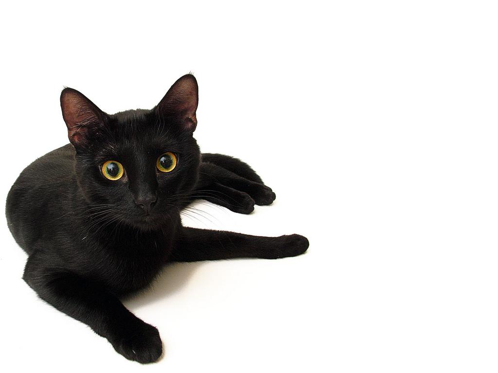 black cats 24149 1024x768 px hdwallsource