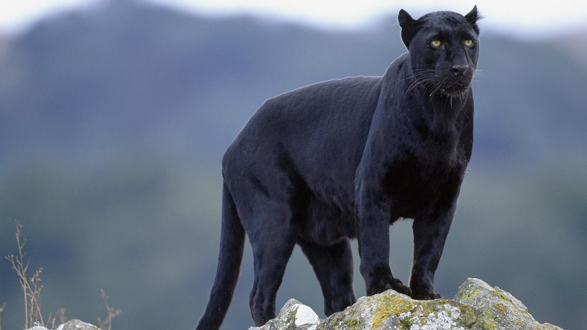 black panther 20067