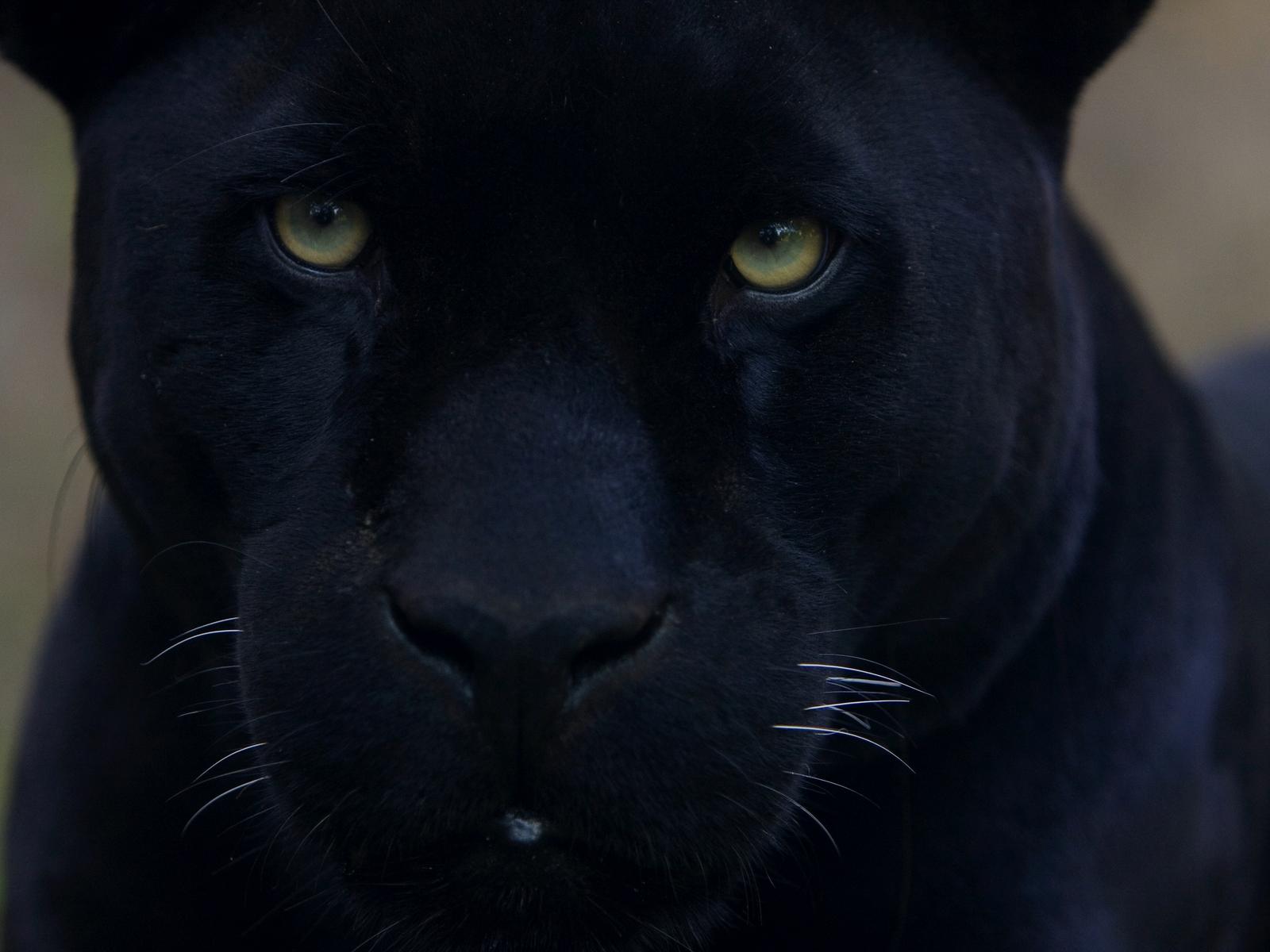 black panther wallpaper 20065