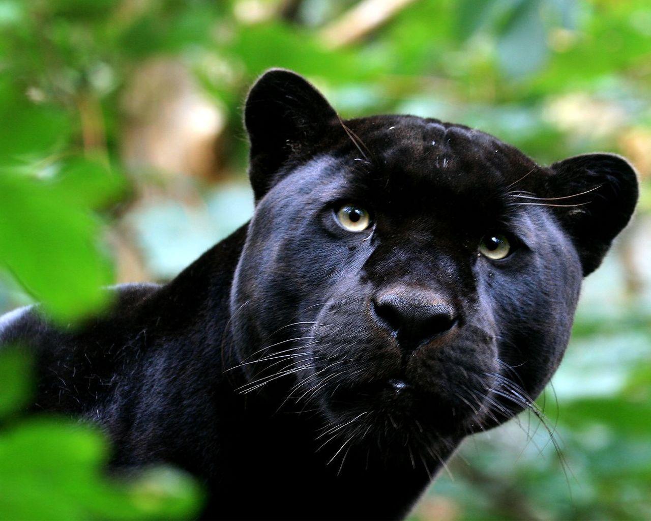 black panther wallpaper 20076