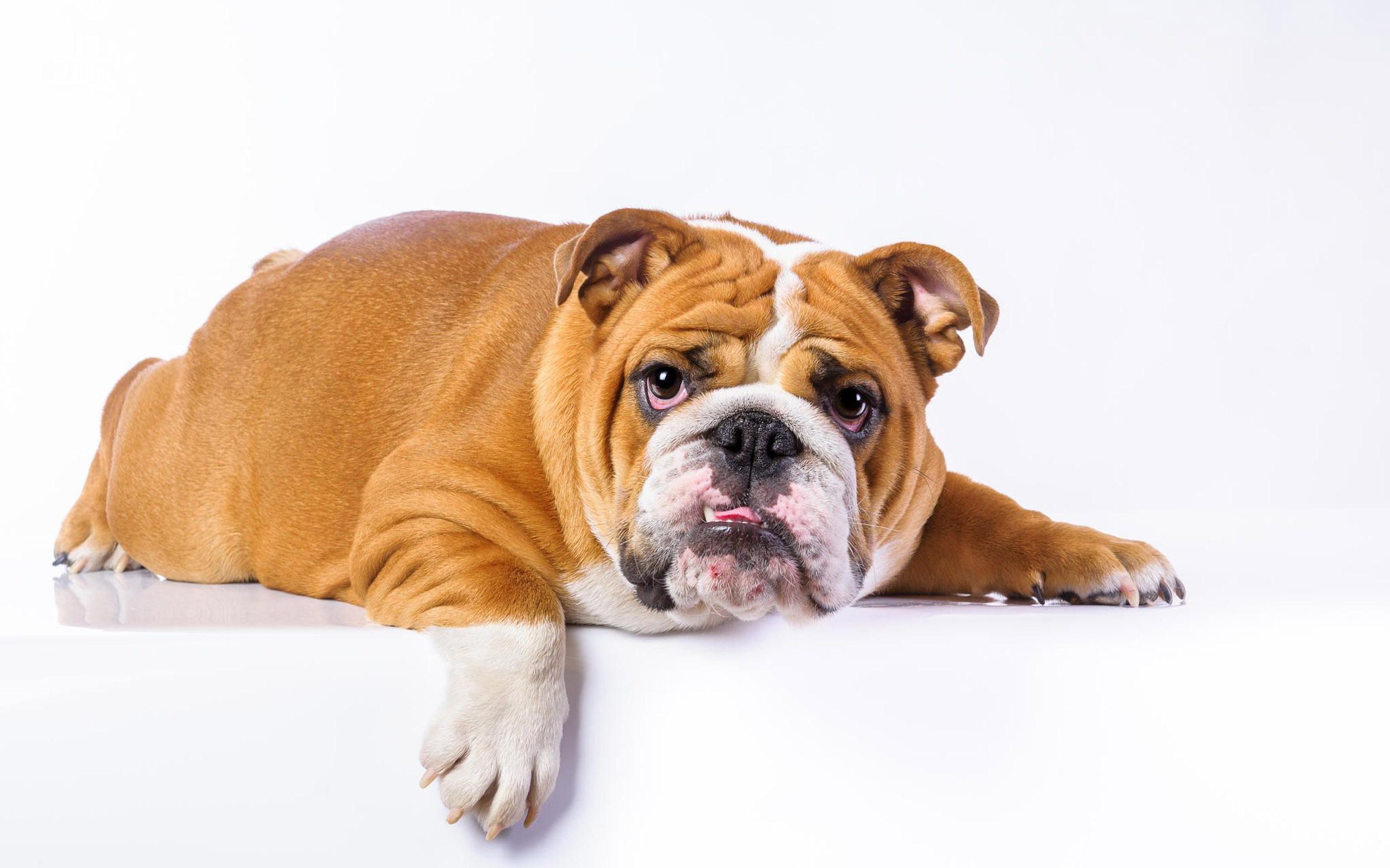 bulldog 22988