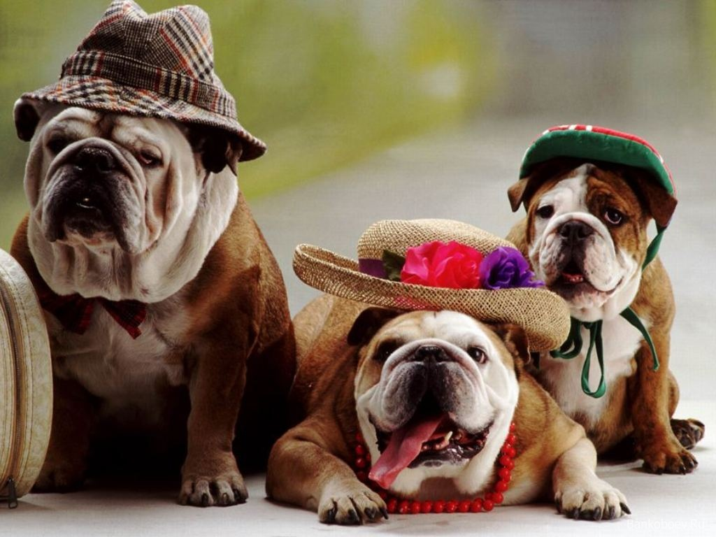 Bulldog wallpaper 22987 1024x768 px for American cuisine movie download