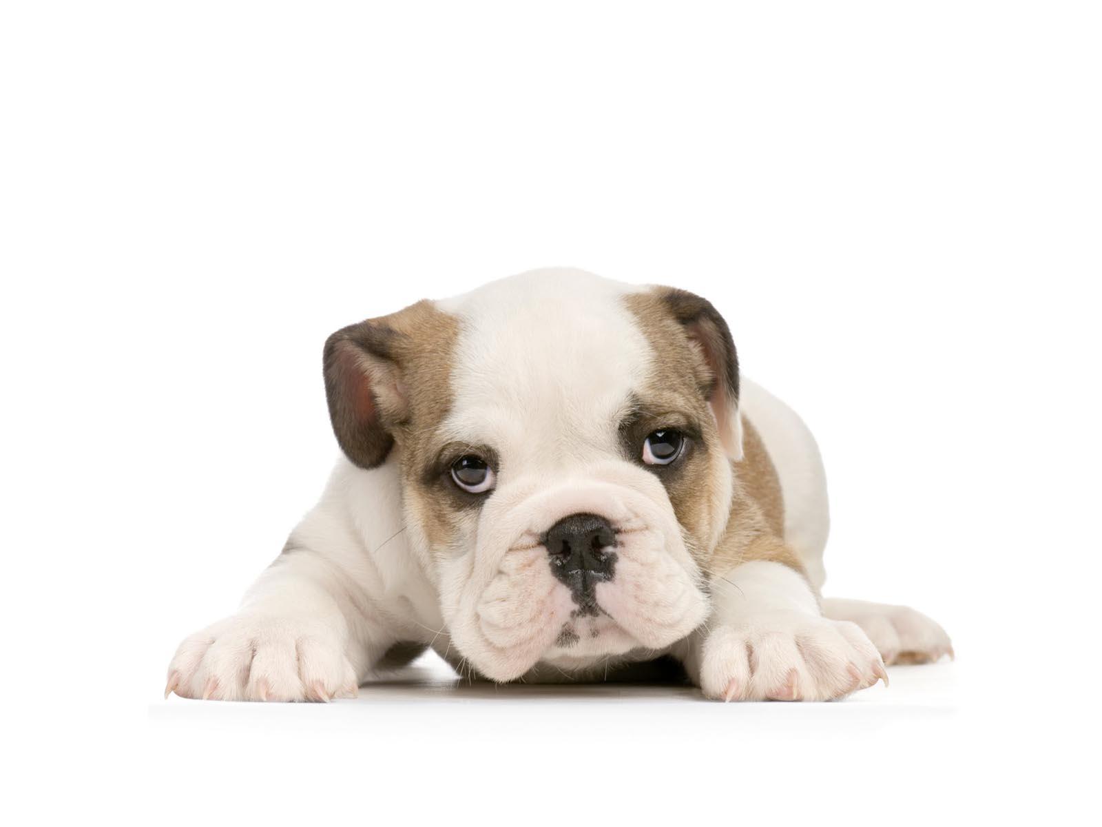Cute bulldog wallpapers - photo#23