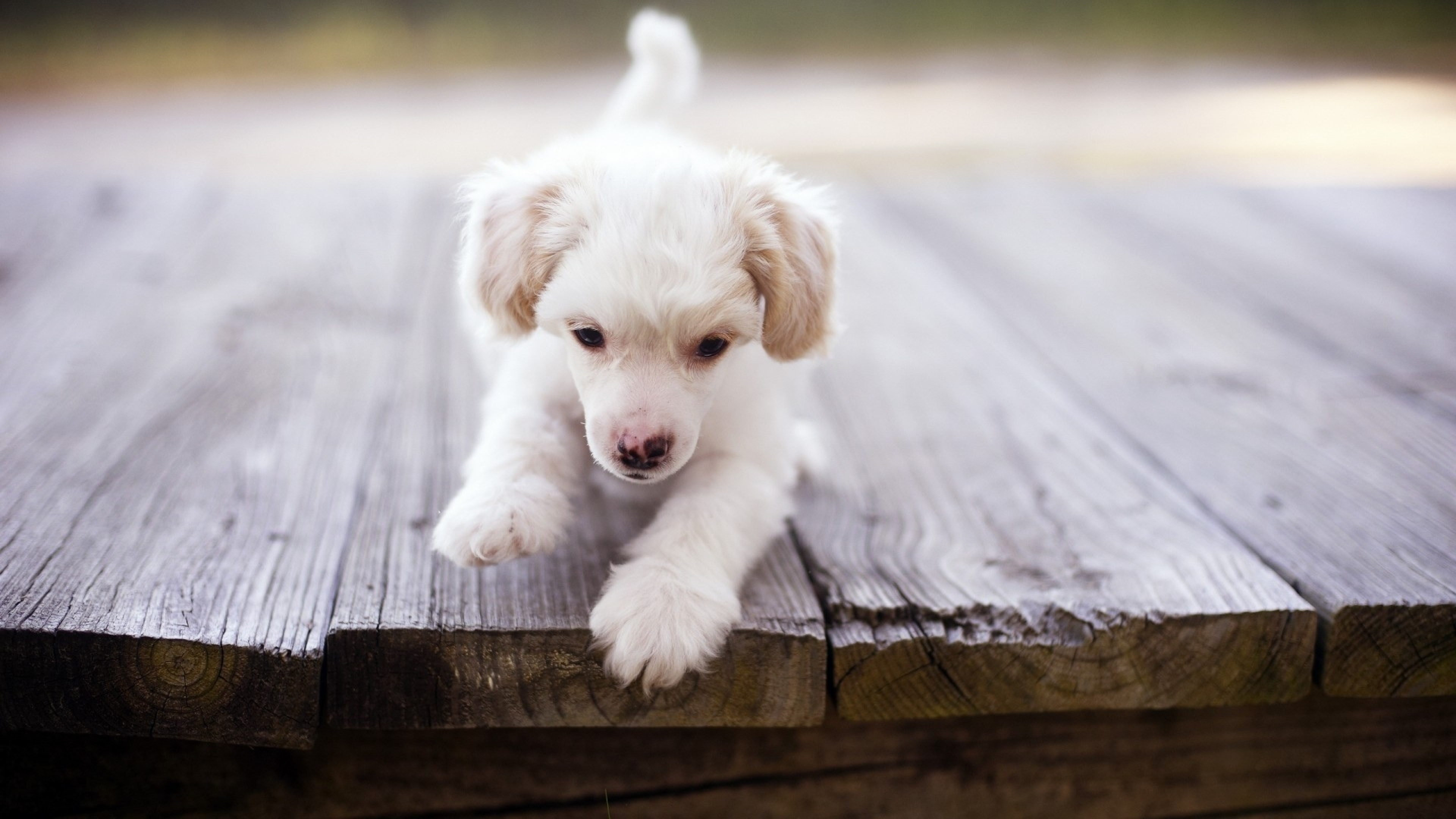 cute dog on wooden planks wallpaper 45027
