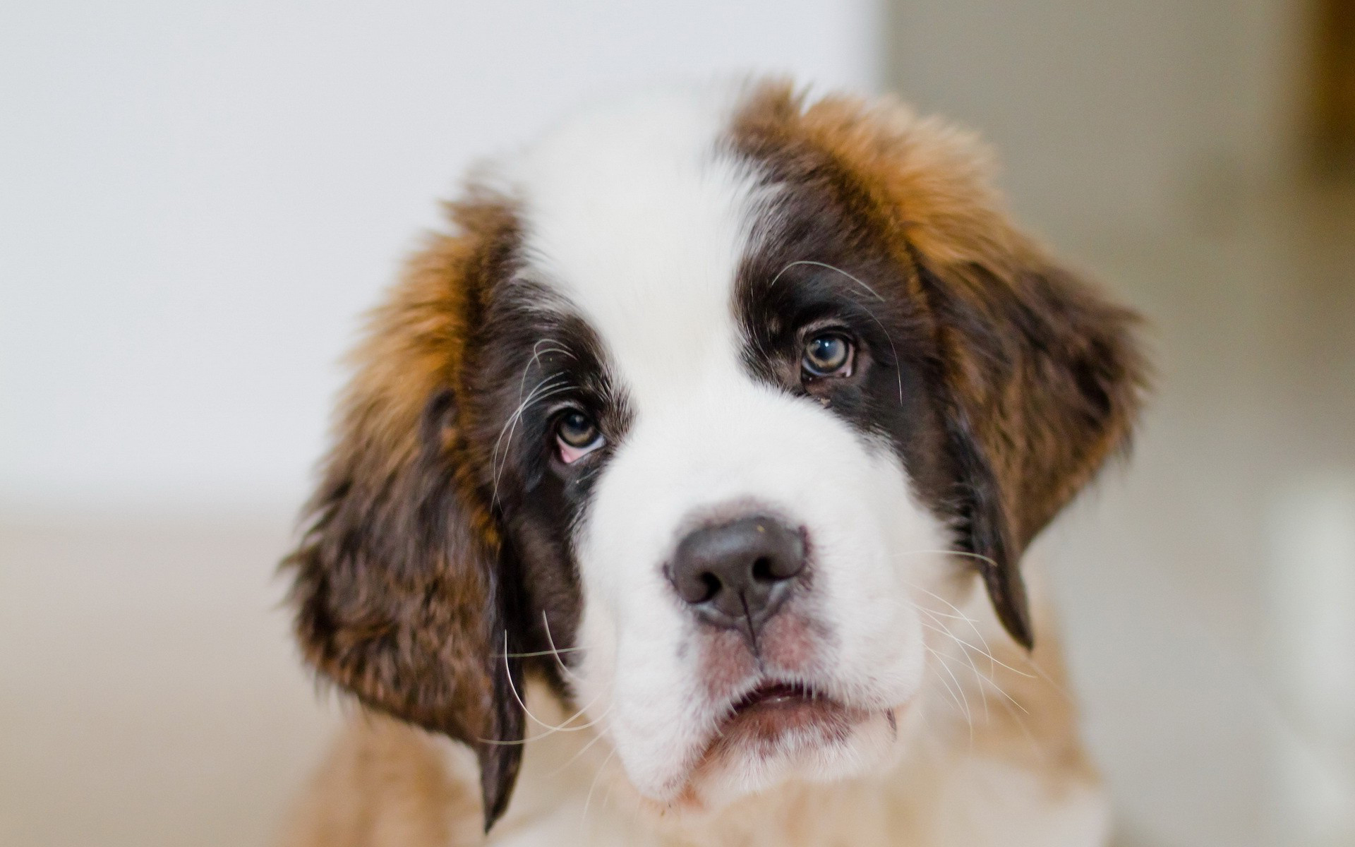 cute saint bernards 19589