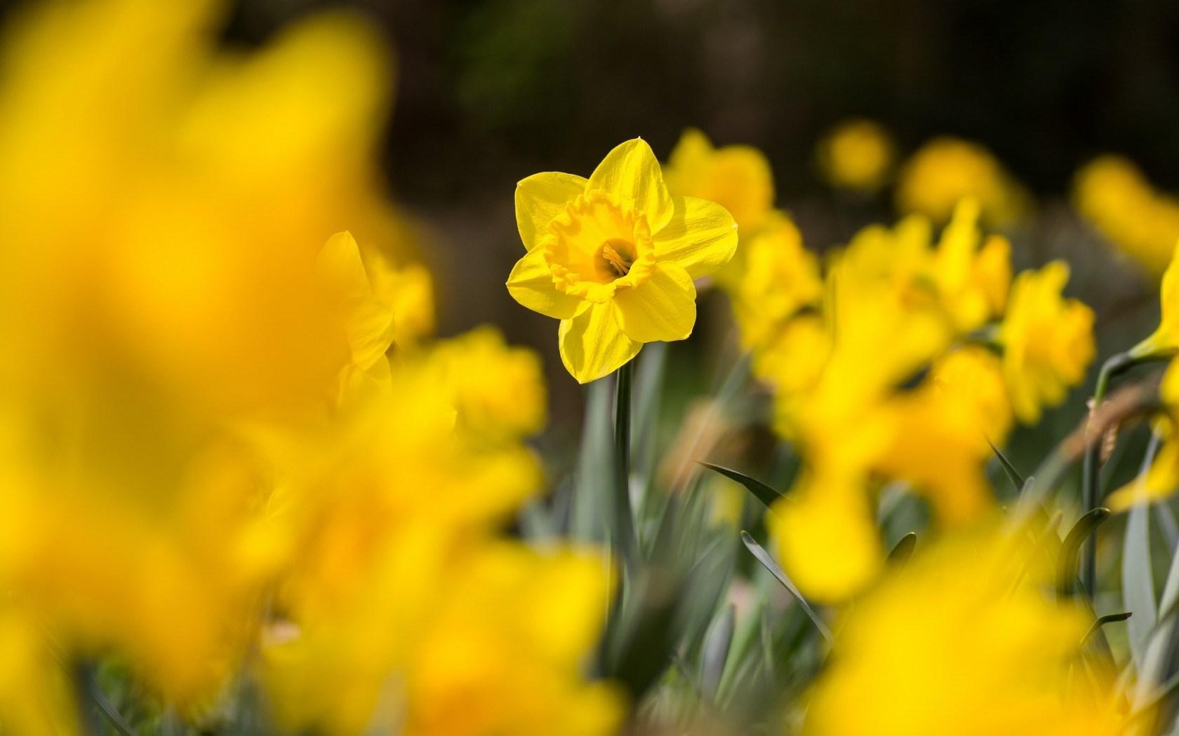 daffodils wallpaper photos hd 20828