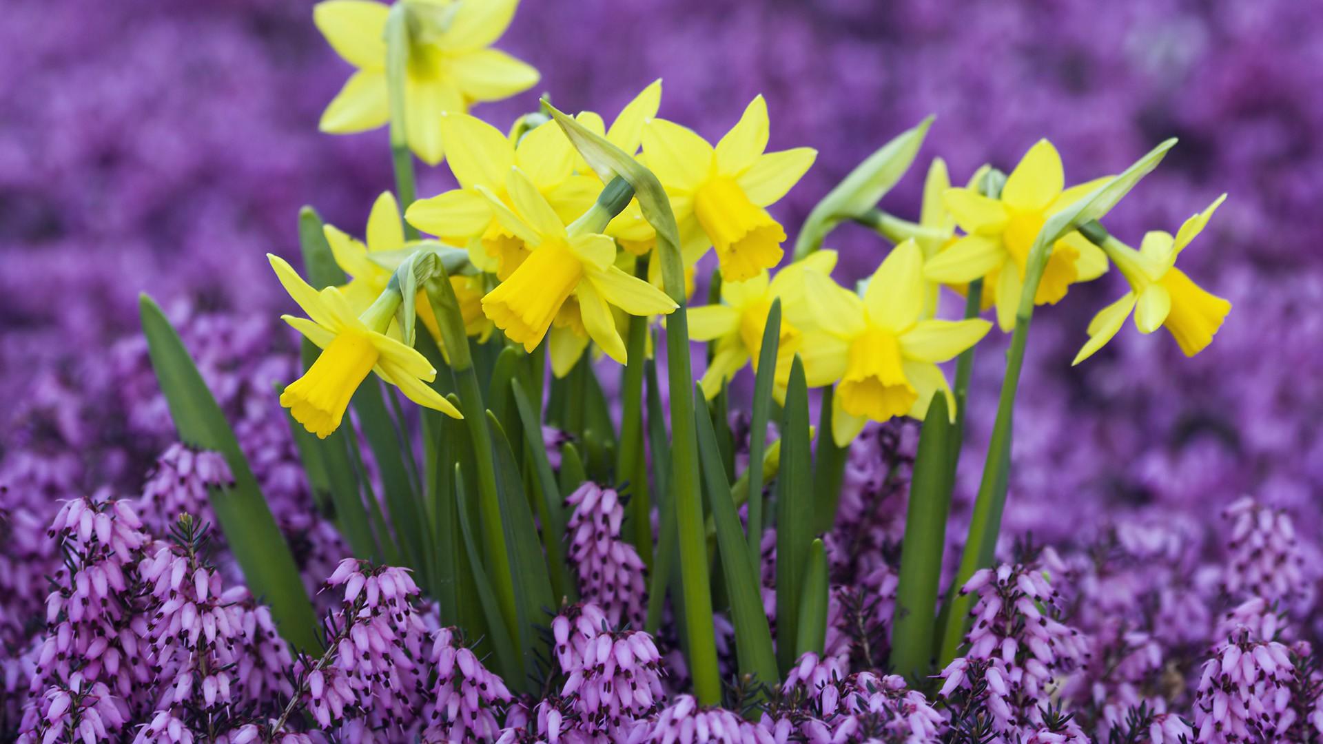 daffodils background 20835