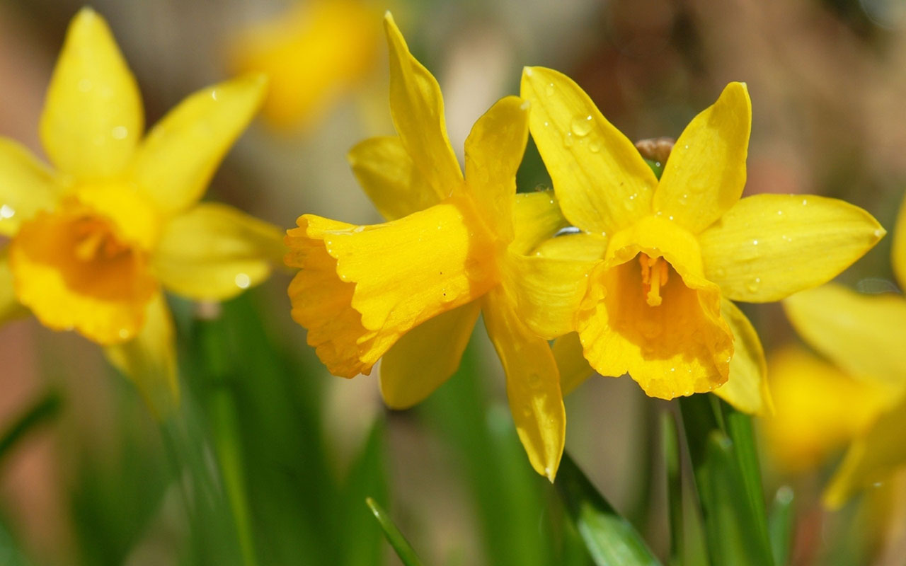 daffodils wallpaper 20833