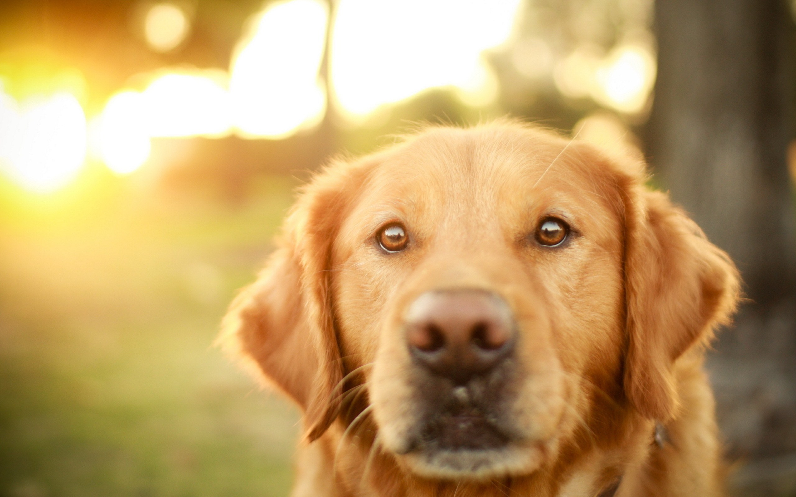 dog close up wallpaper hd 39592 2560x1600 px ~ hdwallsource