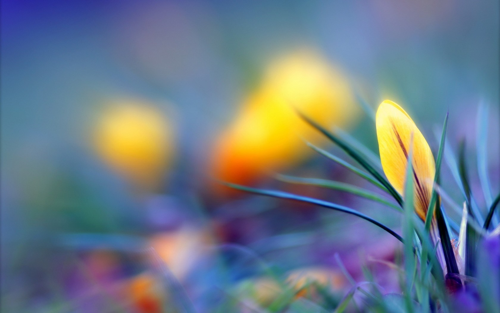 free crocuses wallpaper 28928