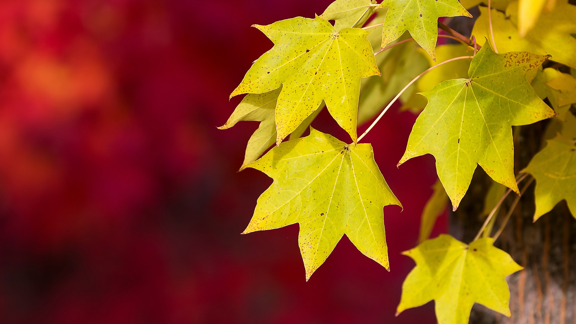 free fall leaves background hd 20811