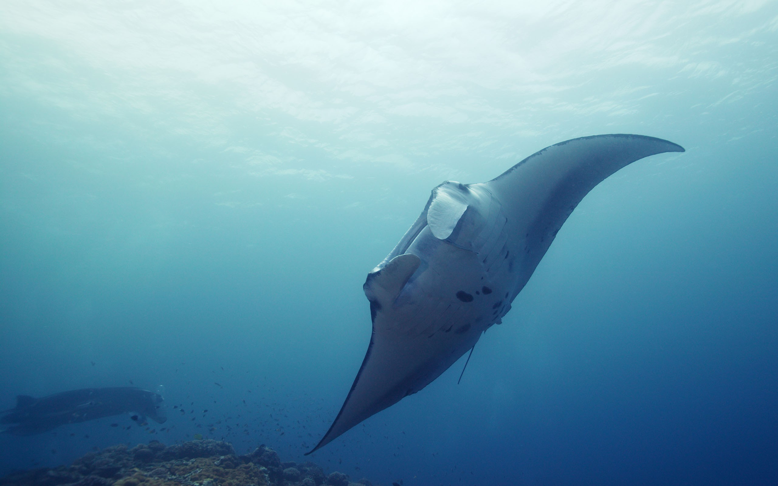 free manta ray wallpaper 31053