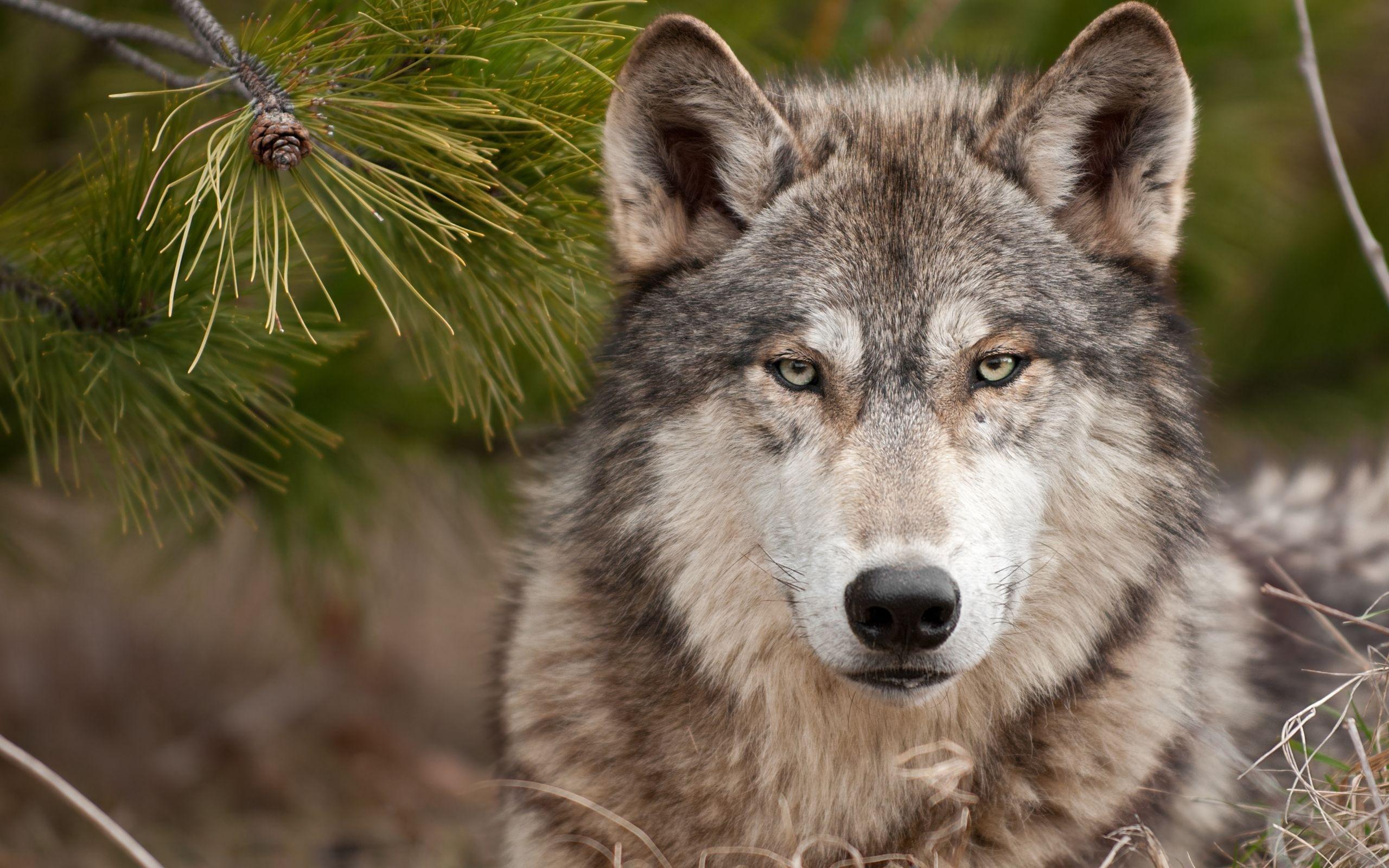 free wolf wallpaper 16324