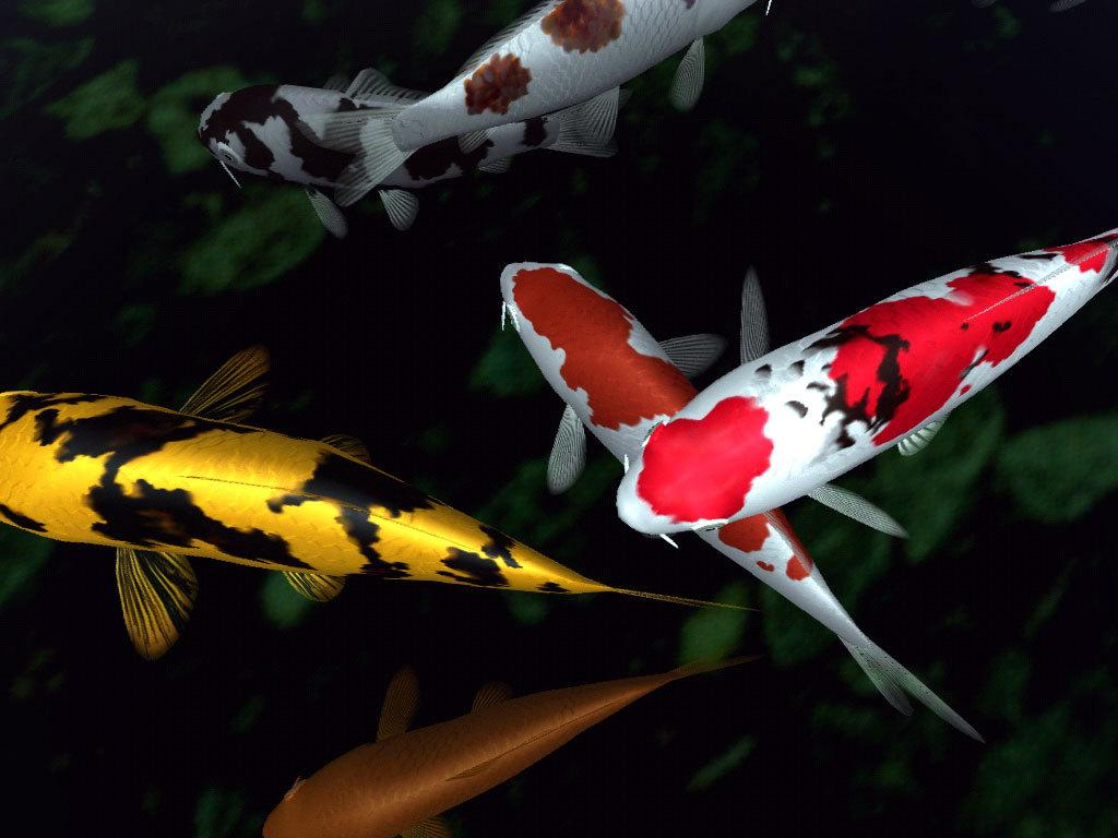 Koi fish 7929 1024x768 px for Koi fish games