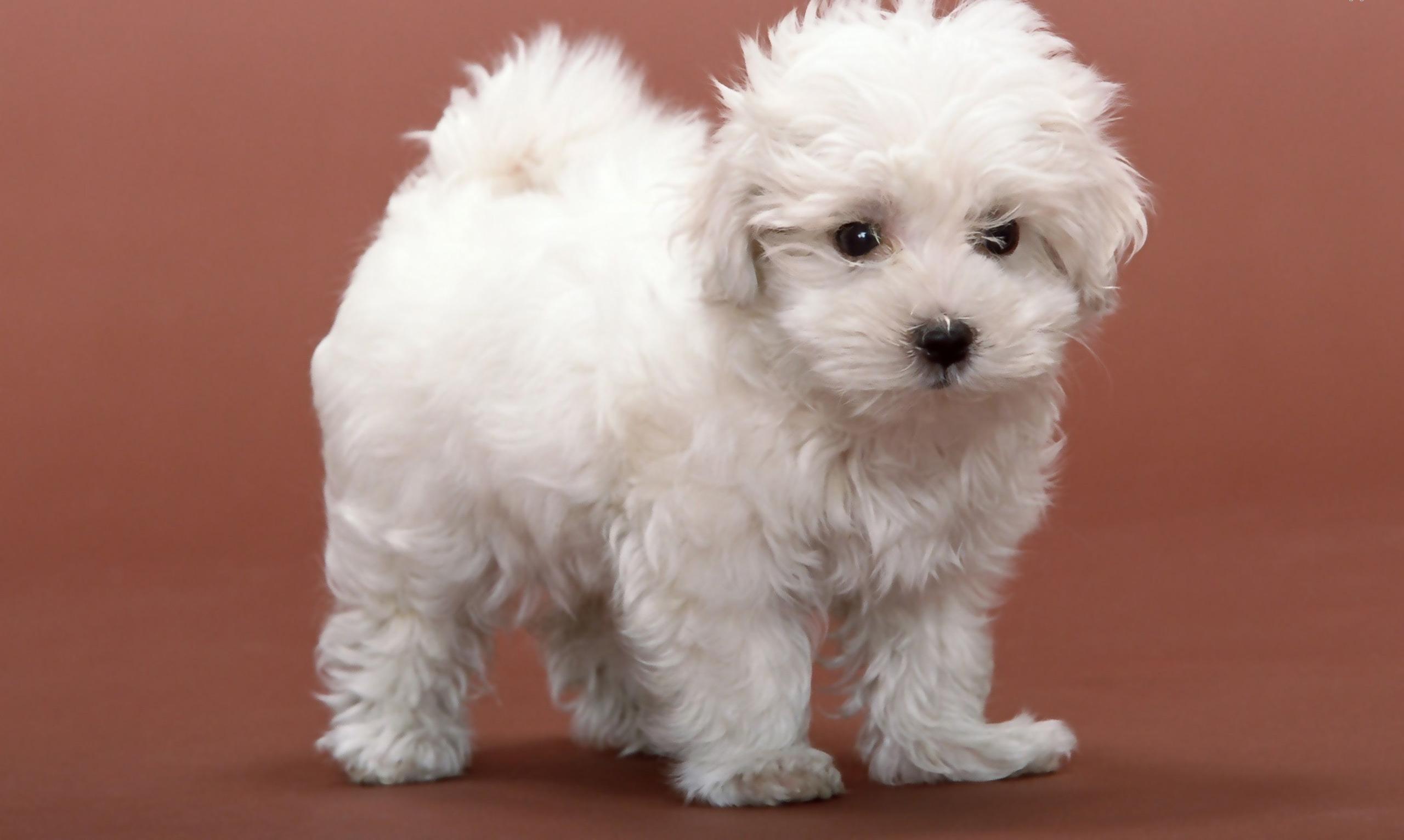 little dogs 9199