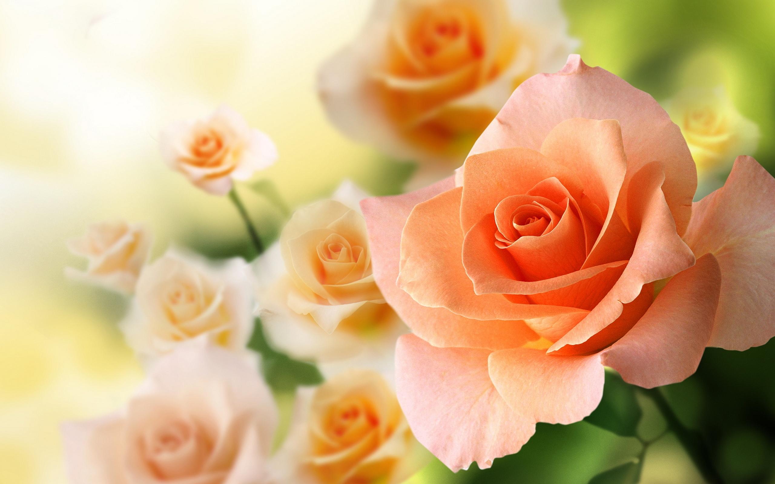 Peach flowers wallpaper 16791 2560x1600 px for Cream rose wallpaper