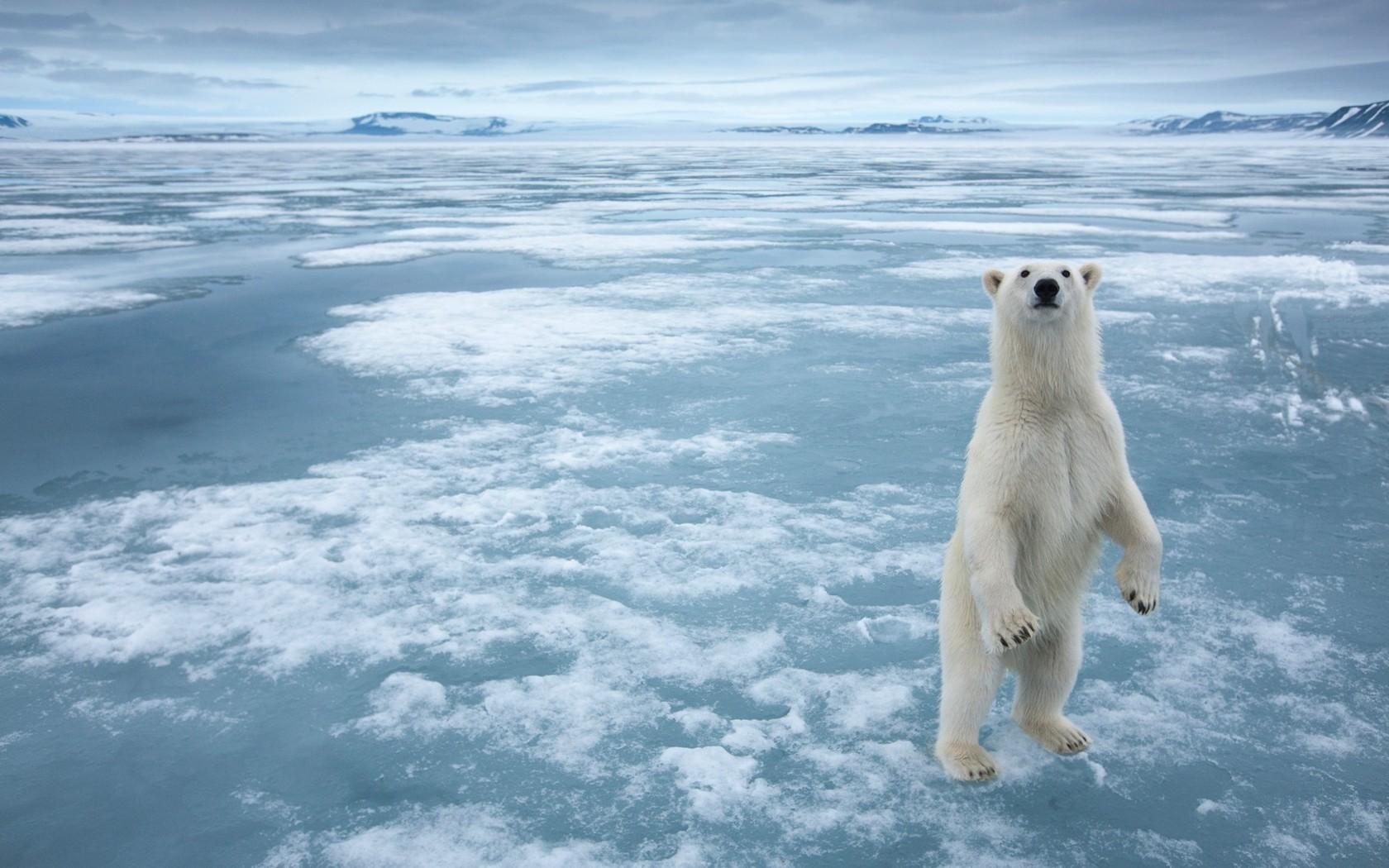 Polar Bear 13020 1680x1050px