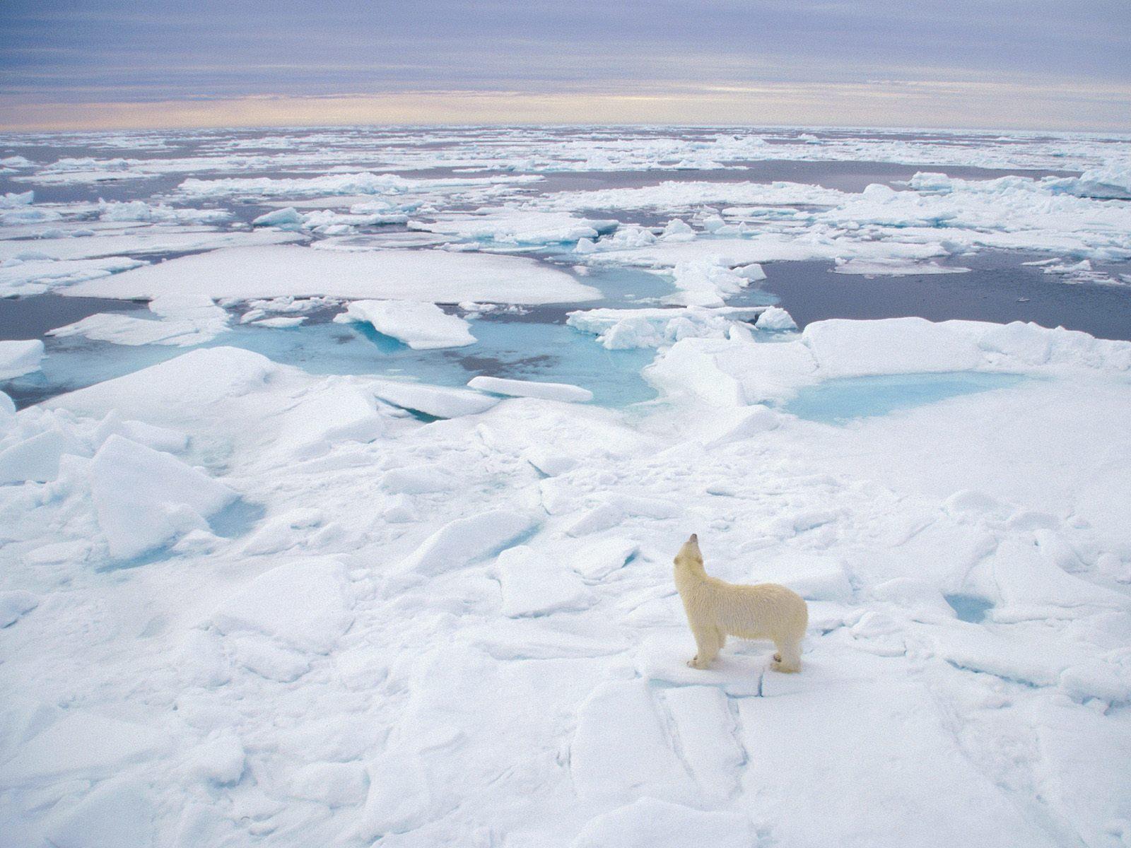 polar bear computer photos wallpaper 13023