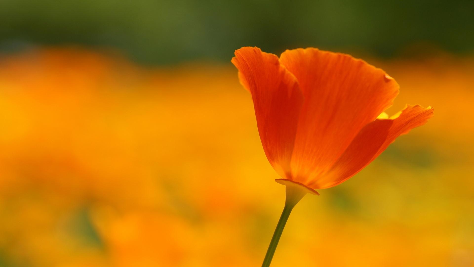 Poppy Flower 24018 1920x1080px