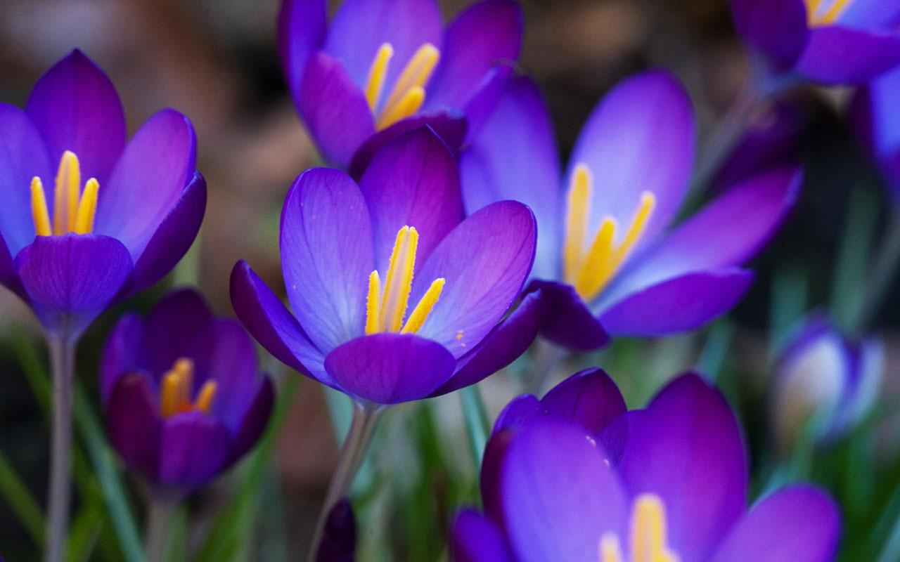 purple crocuses 28913