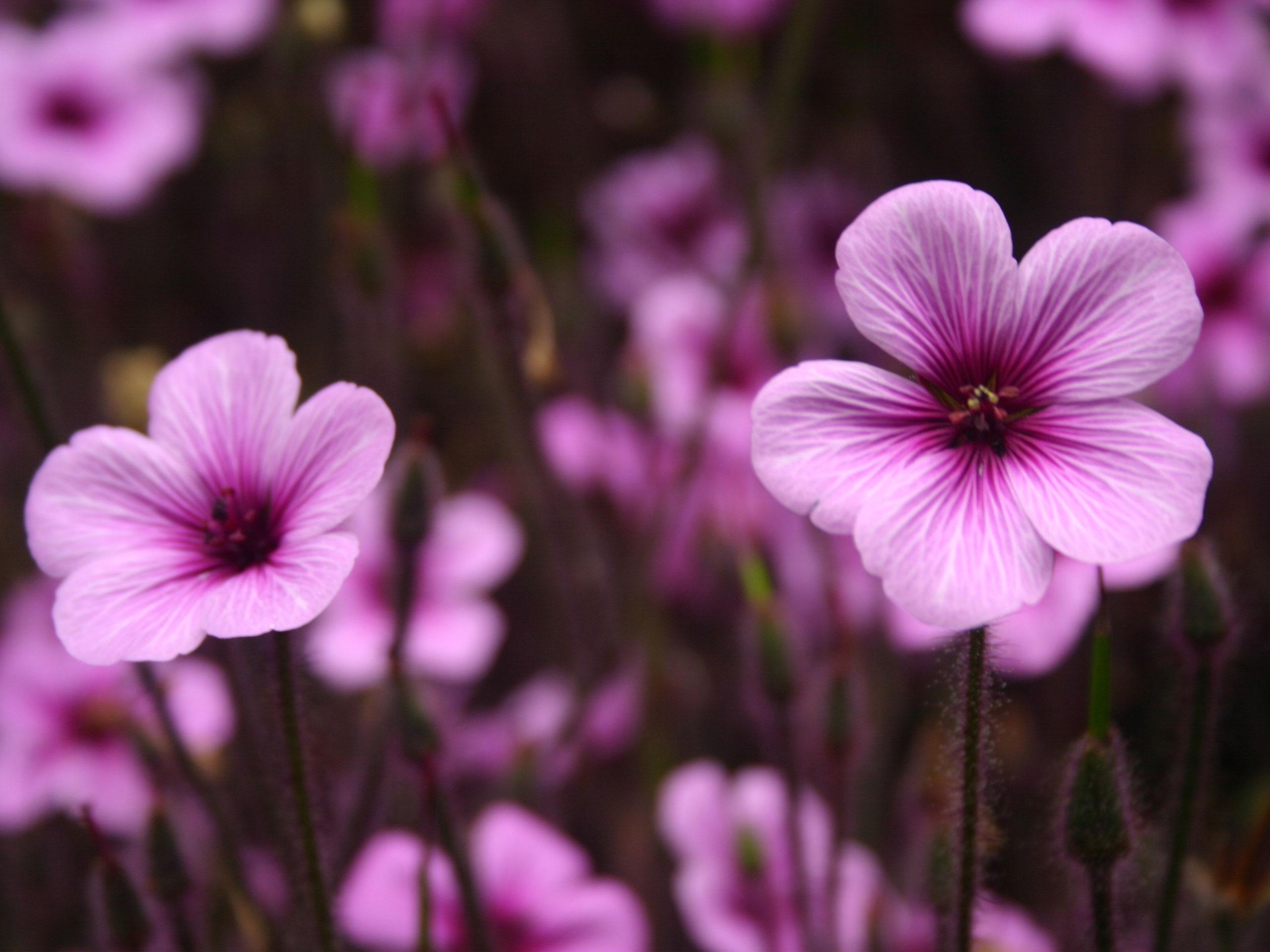 Purple Flowers 14045 2560x1920 Px Hdwallsource