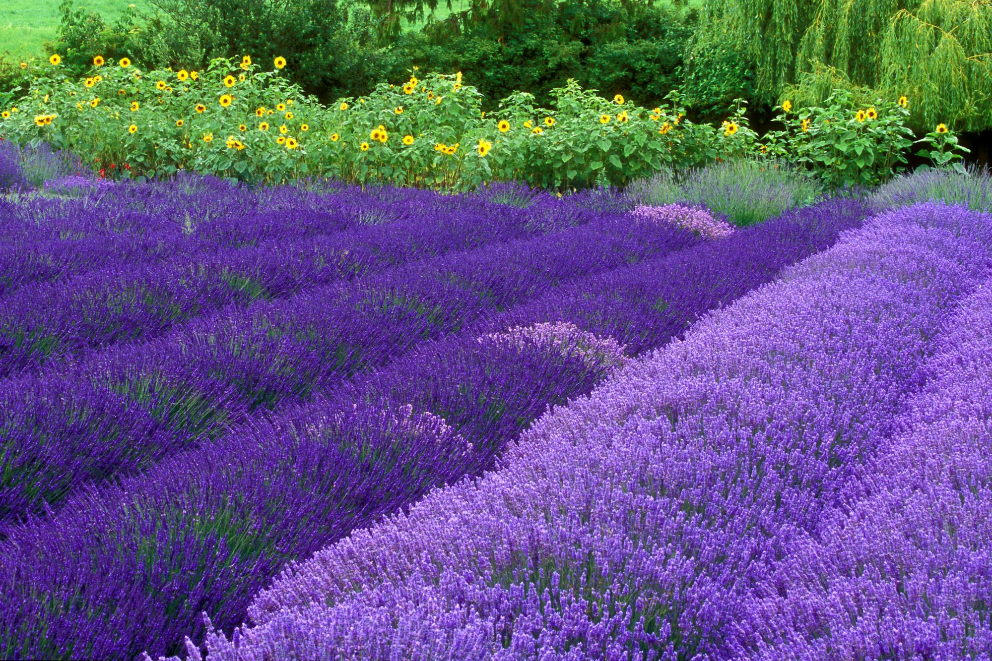 purple flowers 14056