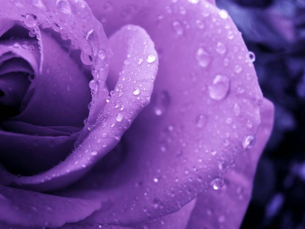 purple roses picture 29511