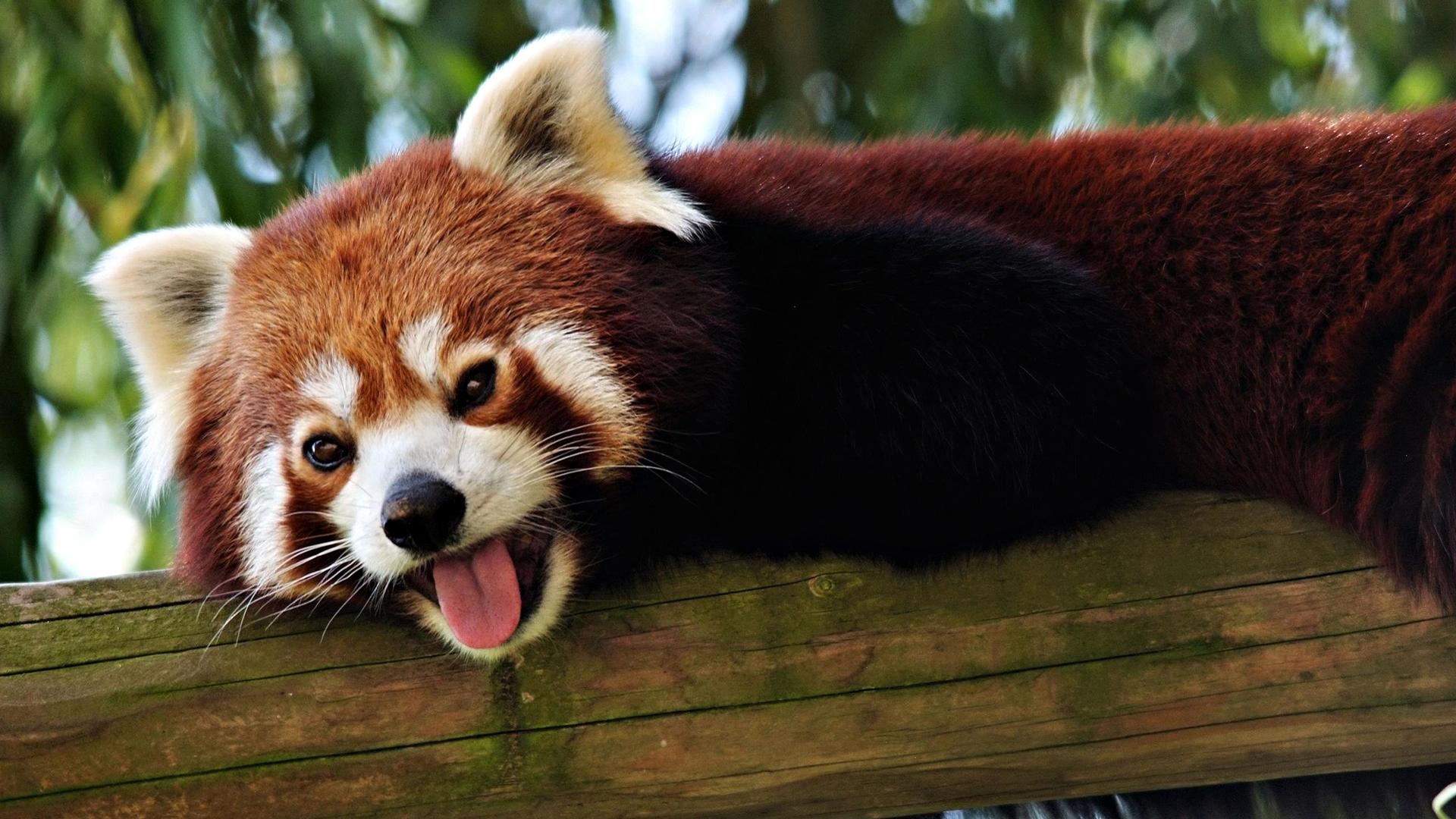 red panda wallpaper 27516