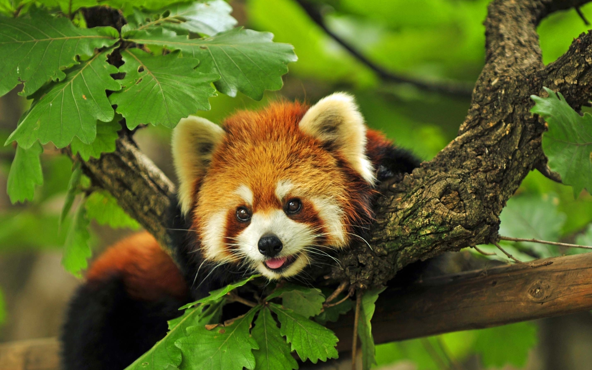 red panda wallpaper 27518