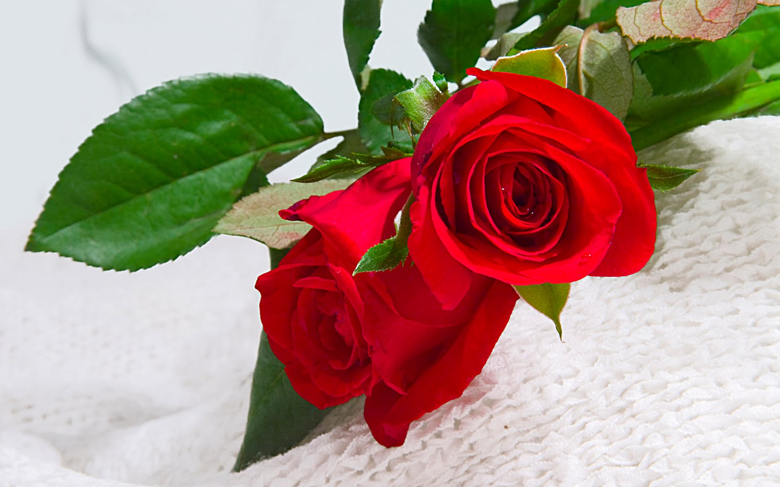 rose flowers 7065