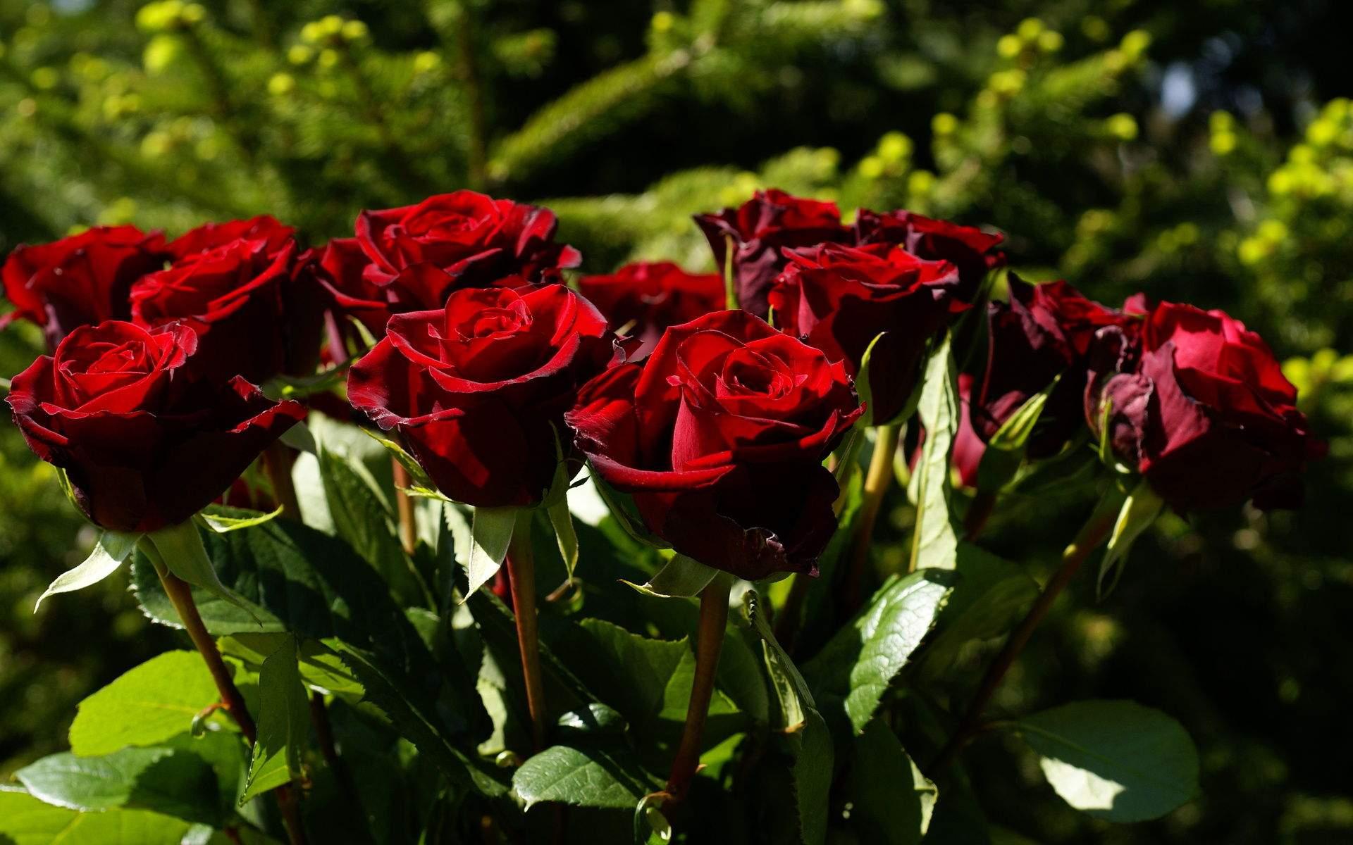 rose flowers 7079