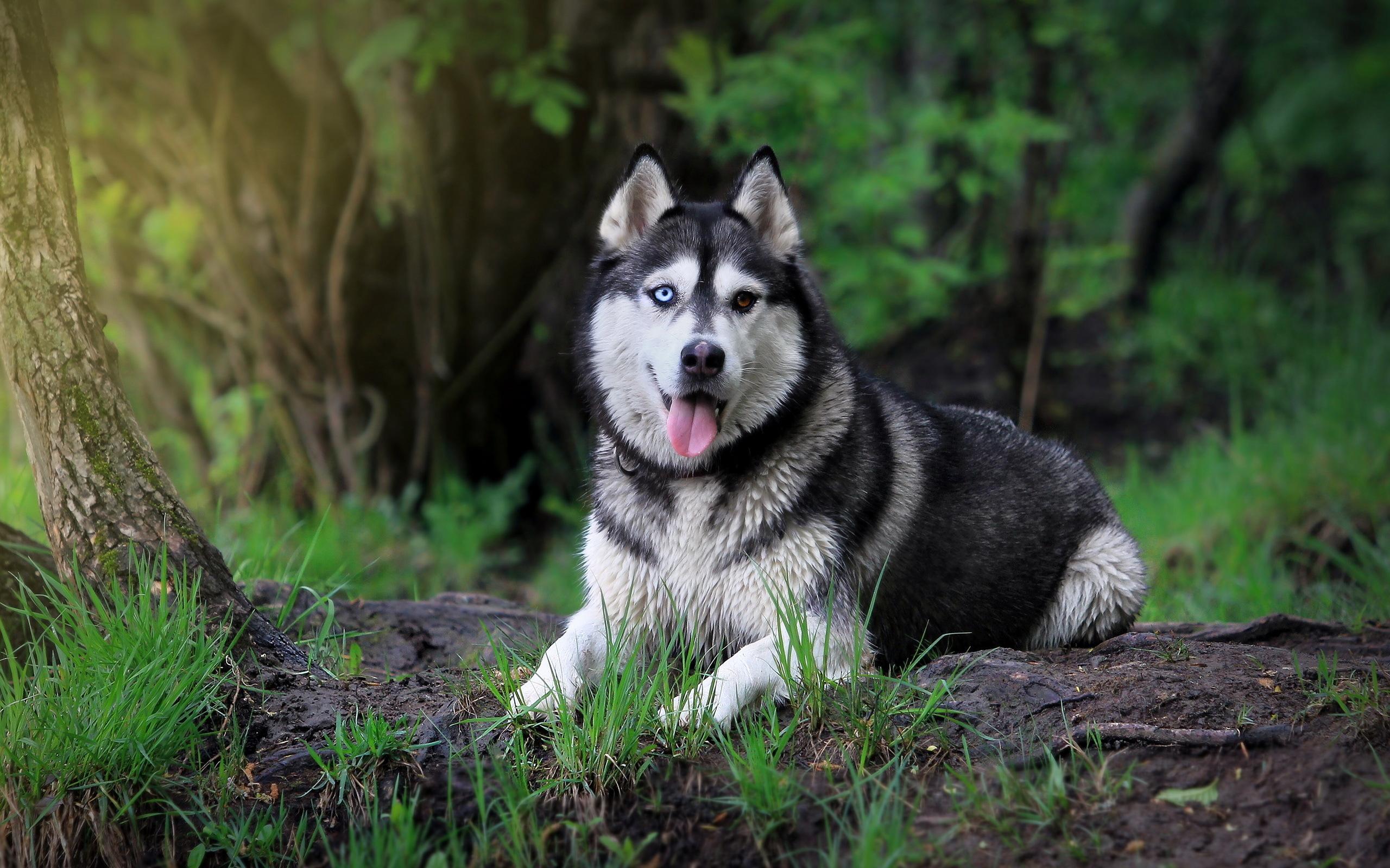 Siberian Husky Wallpaper 20787 2560x1600px