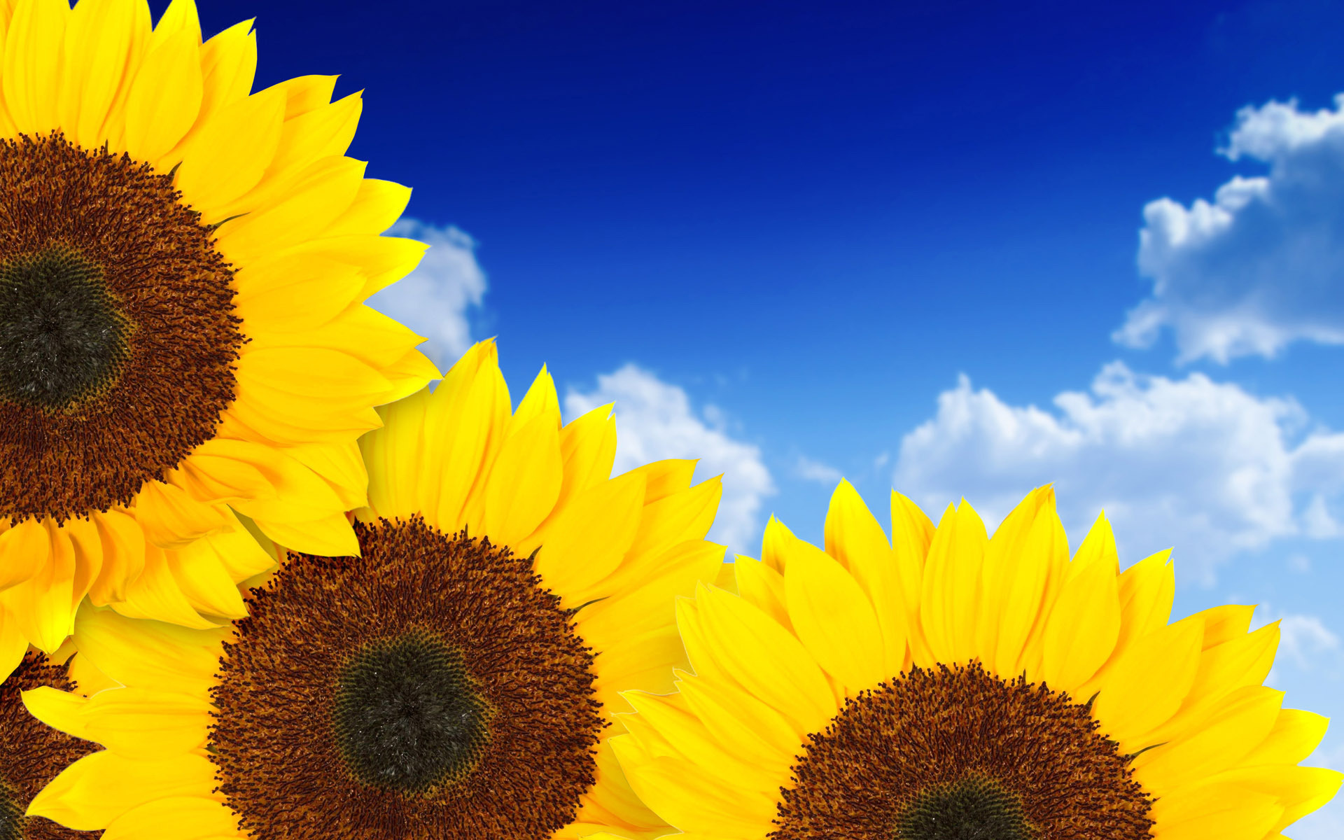 Download Sunflower Wallpaper 16052 1920x1200 px High Resolution ...