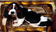 Adorable Basset Hound 22773