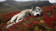 Adorable Wolf Wallpaper 16326