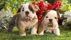 Amazing Bulldog Wallpaper 22980