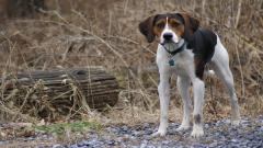 American Foxhound Wallpaper 39565