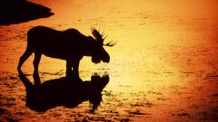 Awesome Moose Wallpaper 18190