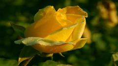 Awesome Rose Pictures 26837