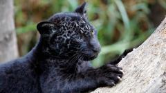 Baby Black Panther 20071