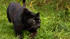 Beautiful Black Panther 20070