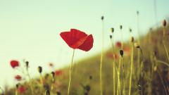 Beautiful Poppy Wallpaper 24000